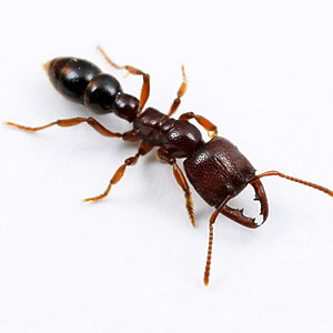 5. Муравей Адетомирма Королева муравьев Адетомирма, откладывает личинку...