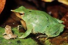 Самки лягушки Rheobatrachus silus вынашивают свое потомство в желудке.
