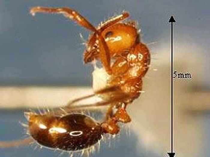 Израиль атаковал новый для этой страны вид насекомых - огненные муравьи.