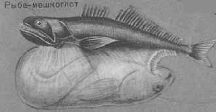 Мешкоглот, или черный пожиратель