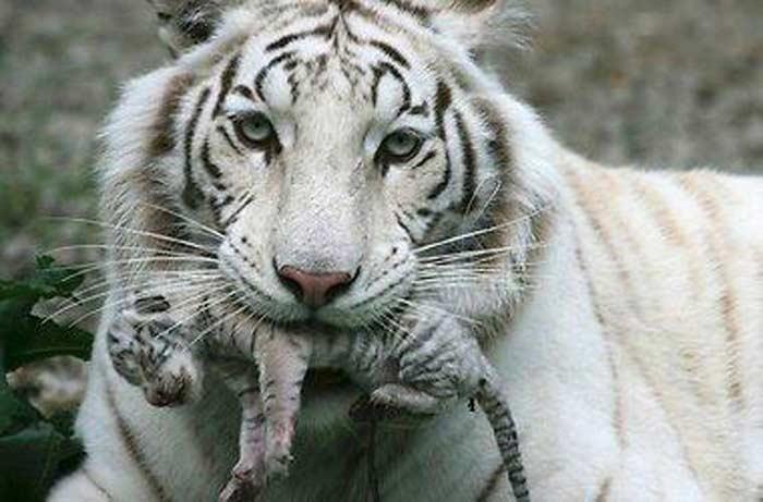Бенгальский тигр-альбинос