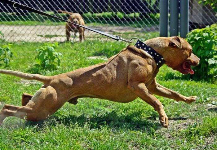 Топ 10 самых опасных собак: Питбультерьер