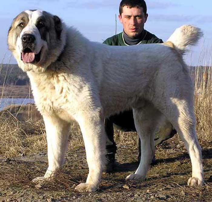 Топ 10 самых опасных собак: Среднеазиатская овчарка