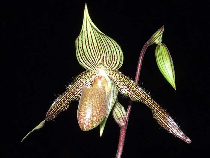 Орхидея « Золото Кинабалу»