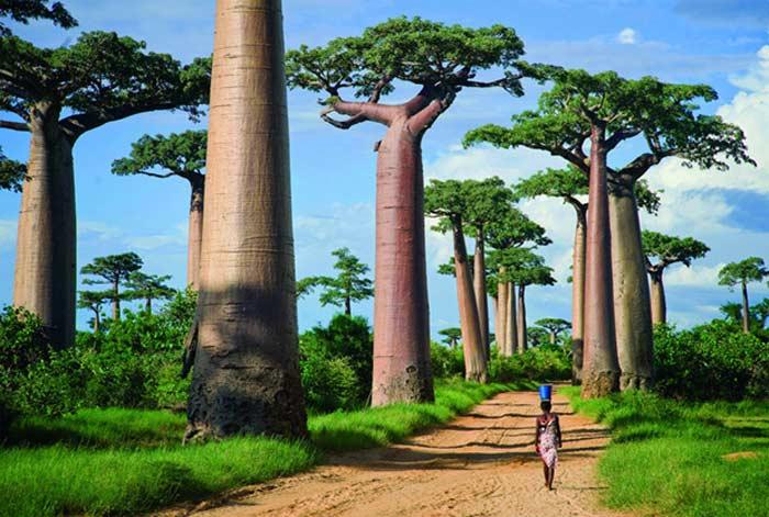 Мадагаскар, аллея баобабов