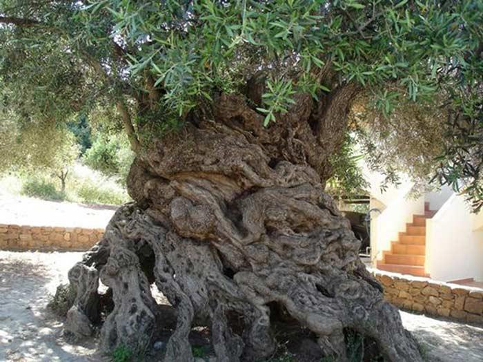 Оливковое дерево в среднем растет около 500 лет