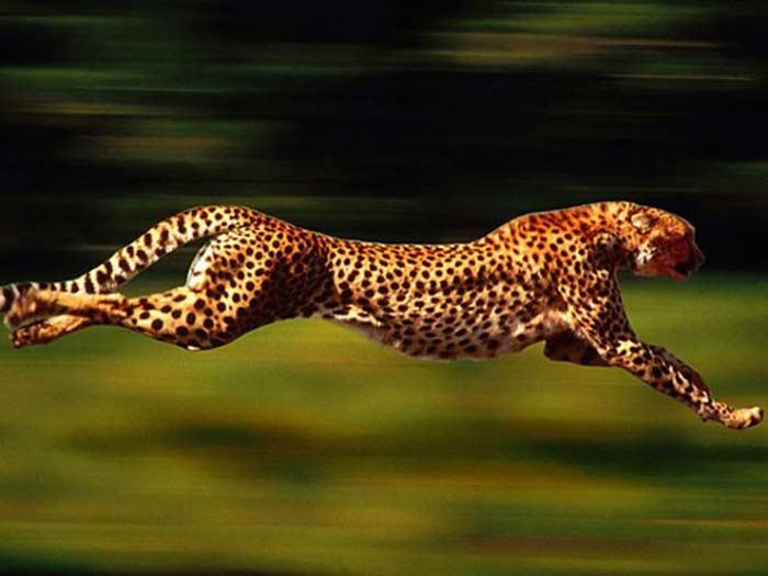 Гепарды