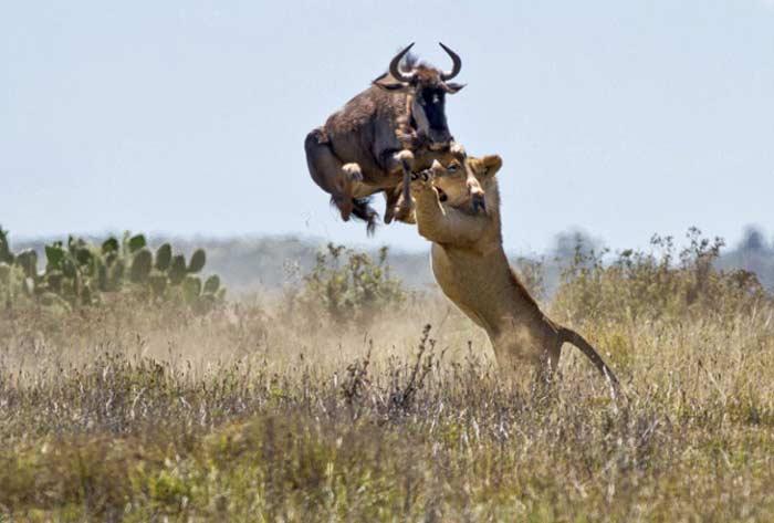 Прыжок антилопы