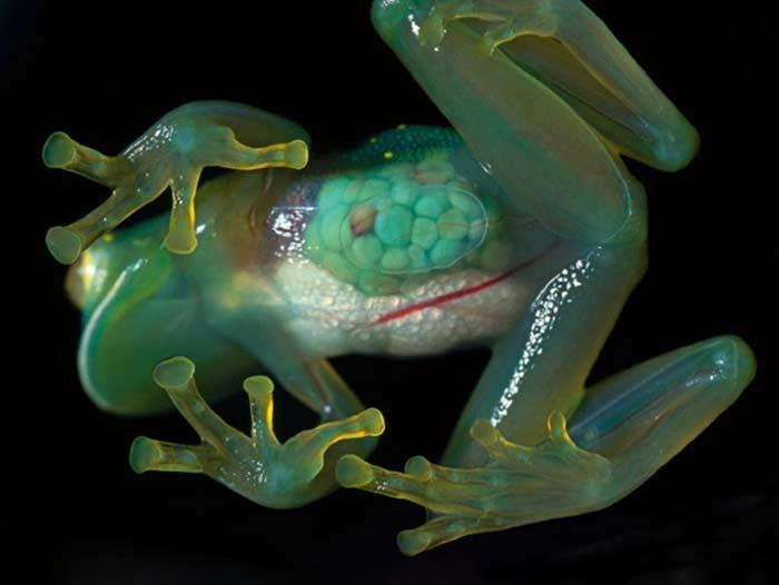 Стеклянная лягушка (Centrolenidae)