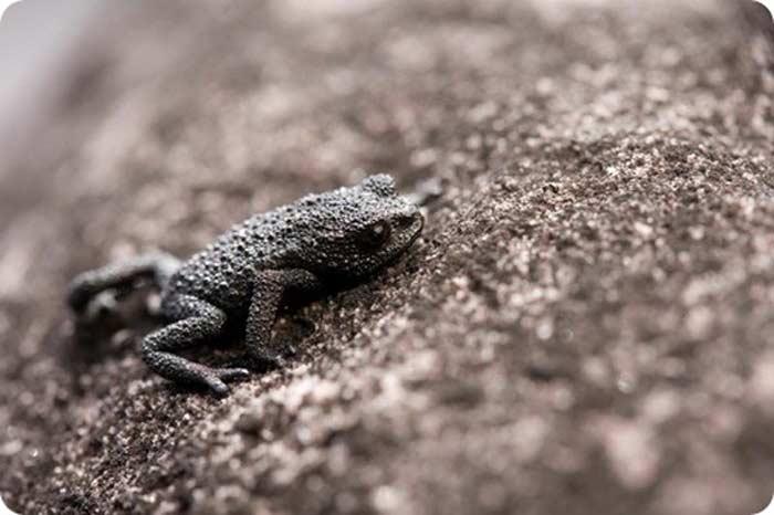 Галечная жаба (Oreophrynella nigra)