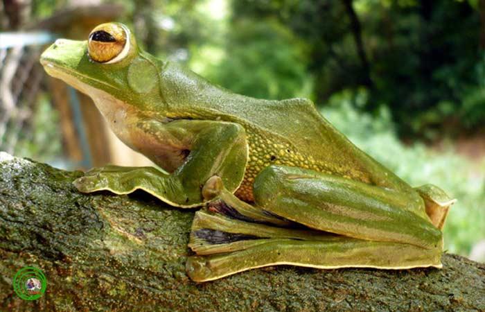 Летающая лягушка Елены (Rhacophorus helenae)