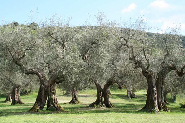 Греческая олива