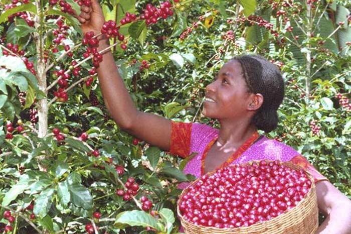 Эфиопия кофе