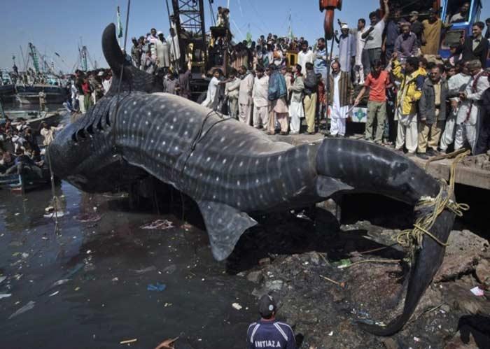 Самая большая акула. Стоила 17 500 долларов