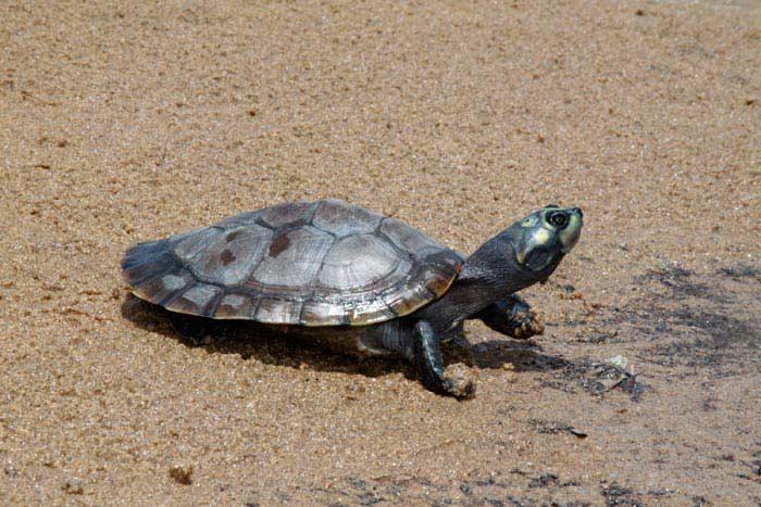 Самые большие черепахи.Аррау или тартаруга