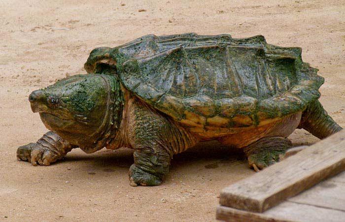 Самые большие черепахи. Грифовая черепаха