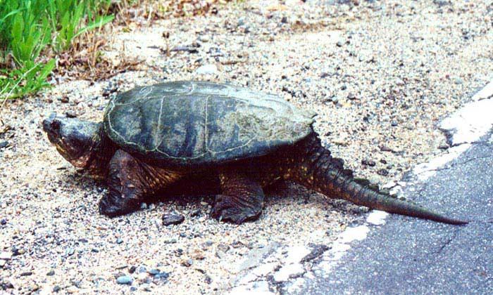 Самые большие черепахи. Каймановая черепаха