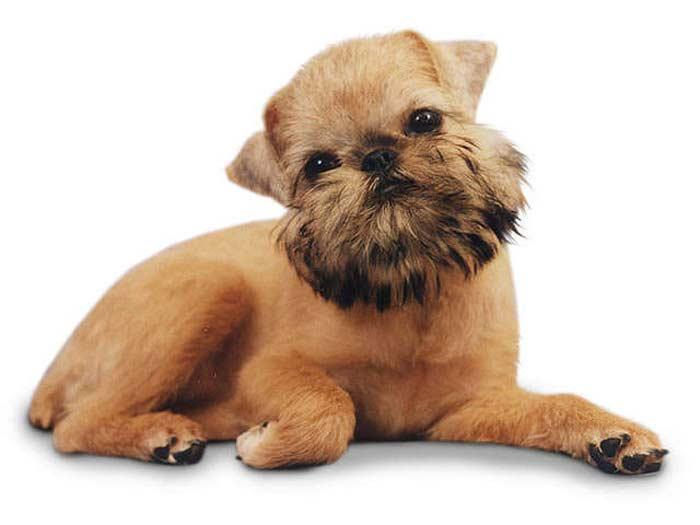 Самые маленькие собаки. Брюссельский грифон