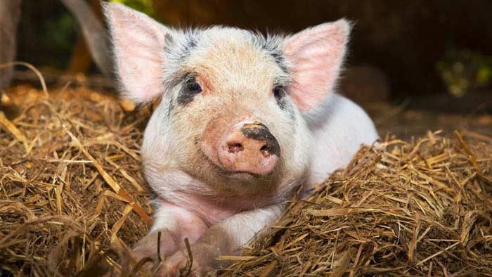 Решение проблемы отторжения свиных органов у человека