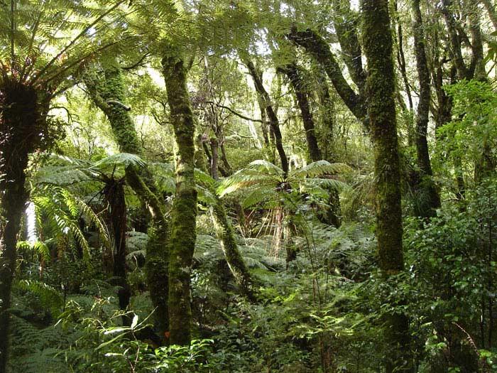 Леса Новой Зеландии