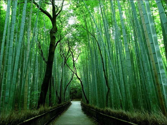 Бамбук - 50 метров