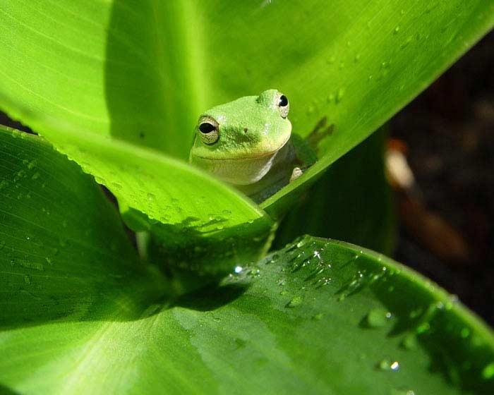 Лягушка-хамелеон