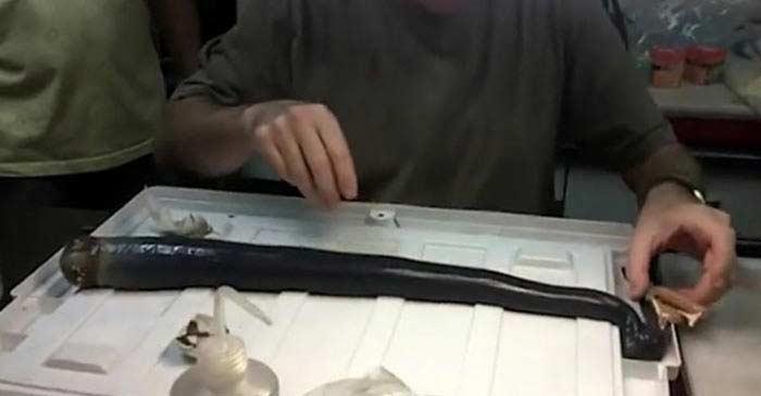 гигантский корабельный червь