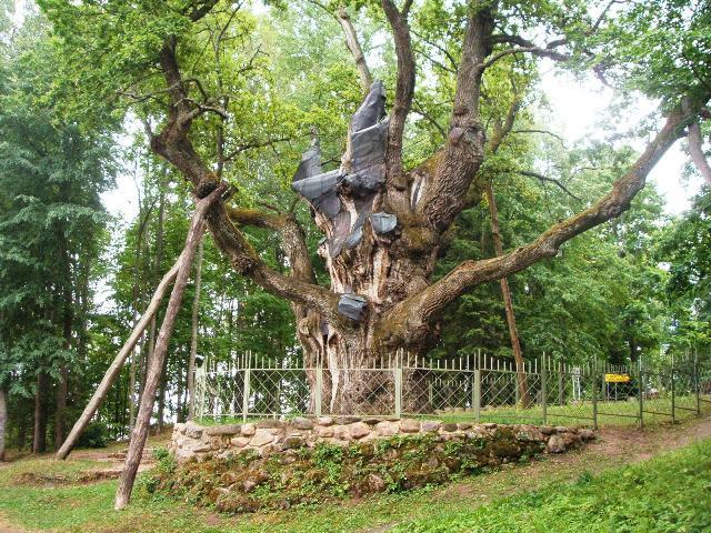 Стелмужский дуб