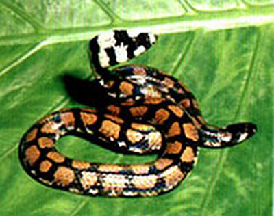 Пятнистая змея