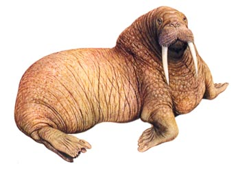Тихоокеанский морж