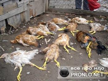 Жертвы чупакабры. Задушенные куры уложены рядами из них высосана кровь