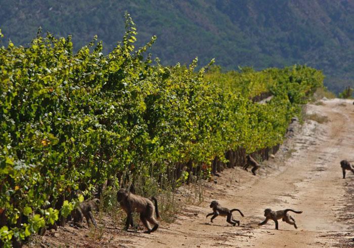 Крупнейшие страны производители вина. ЮАР