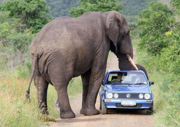 Похитители слона