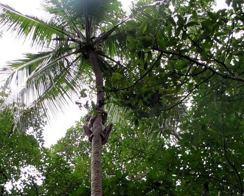 Соревнования по лазанию на пальмы