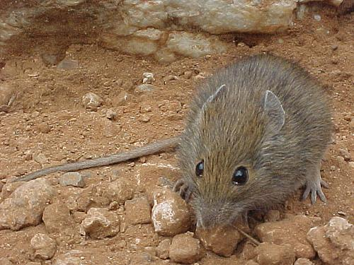 Мышь Pseudomys desertor