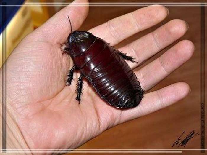 Роющий таракан