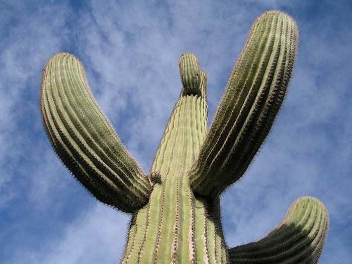 10 фактов о самом большом кактусе в мире