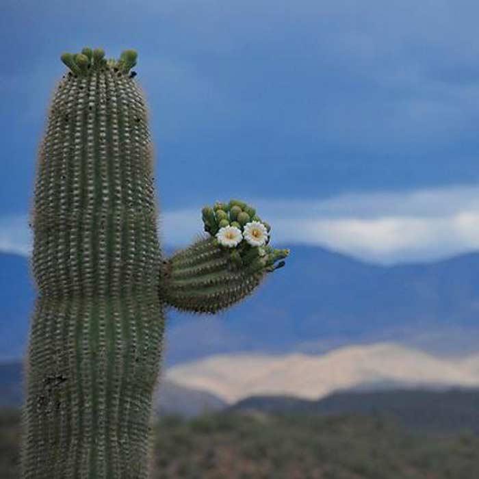 Он даже цветет, кактус имеется ввиду