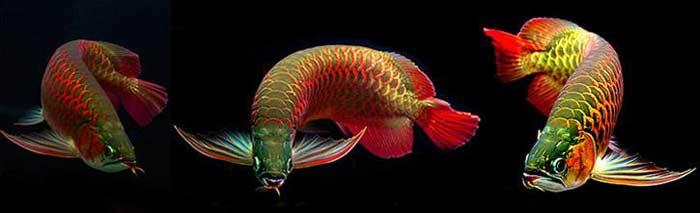 Арована или рыба-дракон