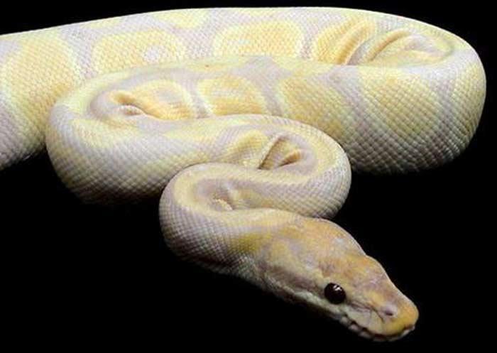 Питон-альбинос