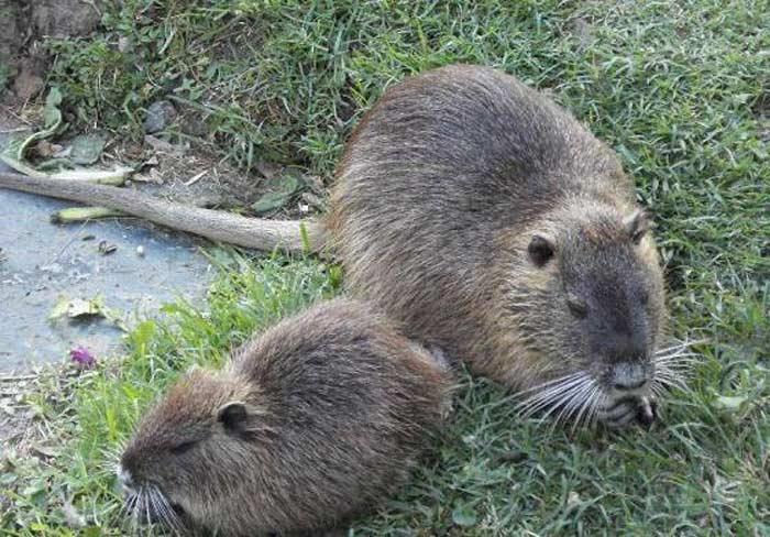 Нутрия и степная мышь