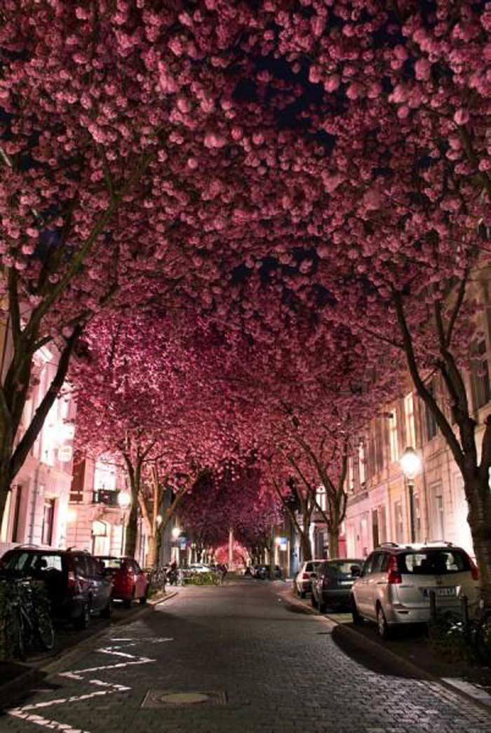 Тоннель из цветущих вишен
