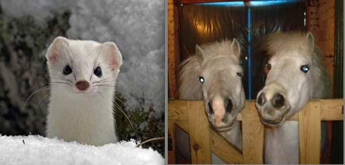 Ласка может убить лошадь