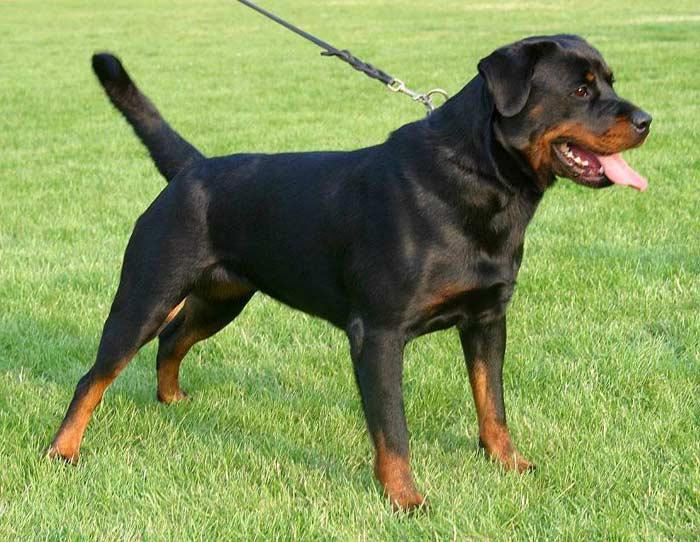 Топ 10 самых опасных собак: Ротвейлер