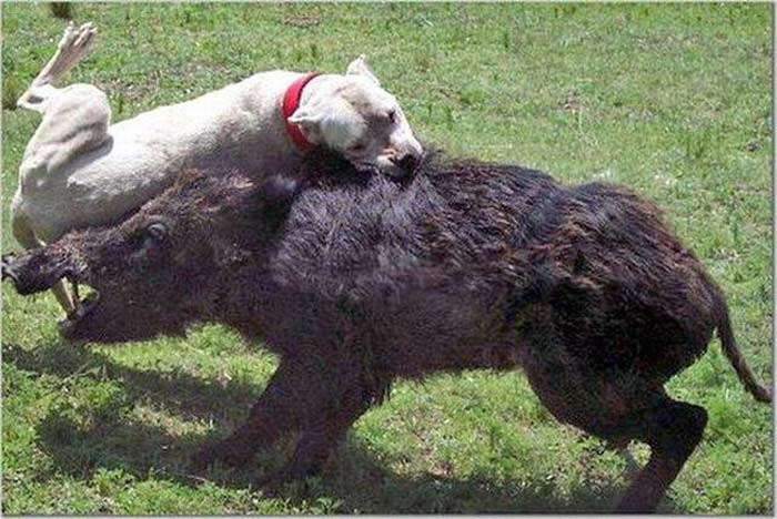 Топ 10 самых опасных собак: Аргентинский дог