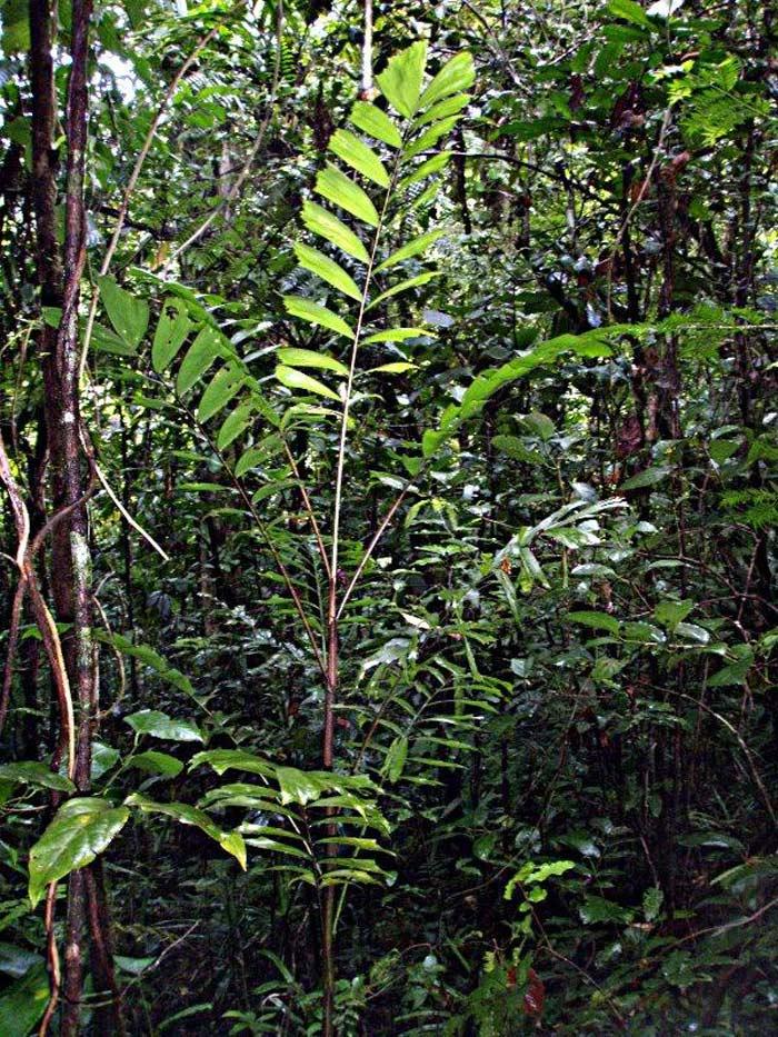 Балака пальма