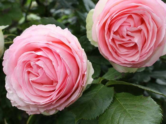 Цветок «Пьер де Ронсар»