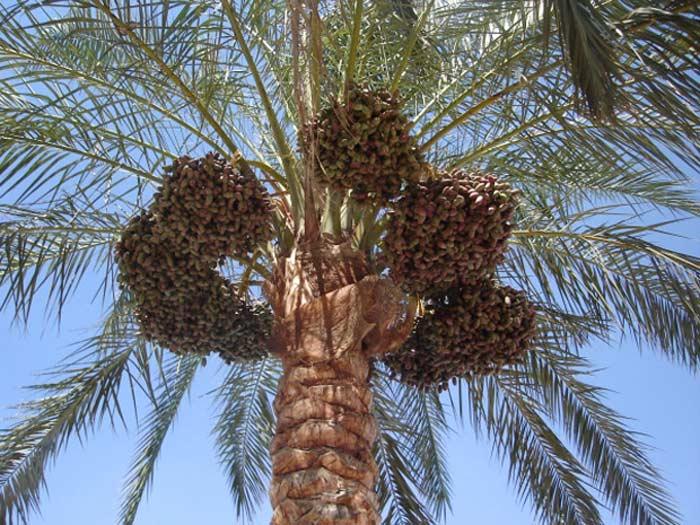 Пальма с маслом