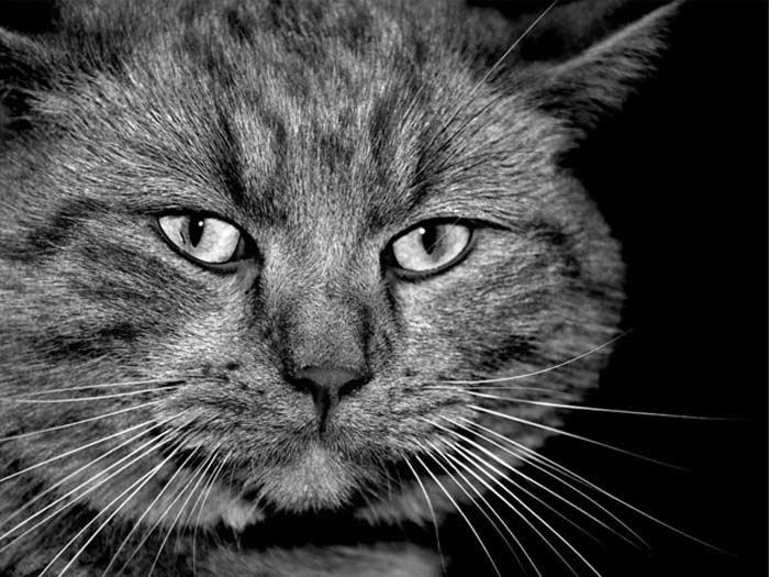 графский кот
