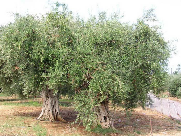 1 млн.га оливковых насаждений